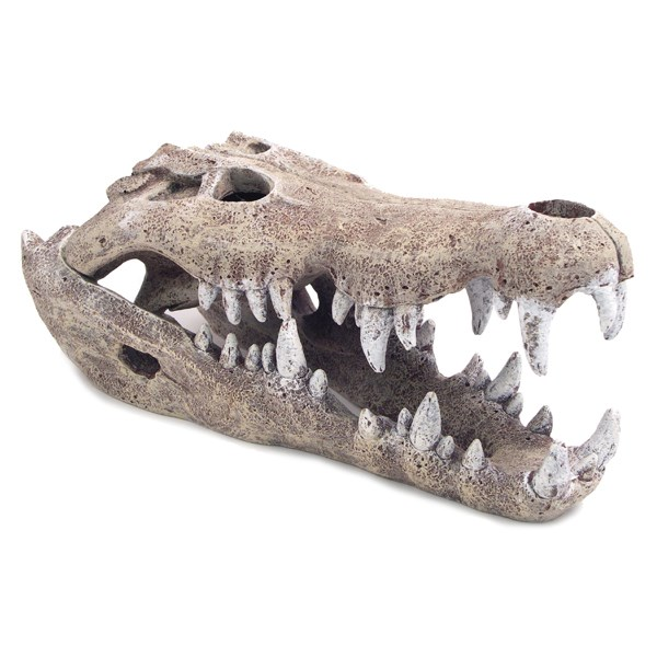 Nile Crocodile Skull Large